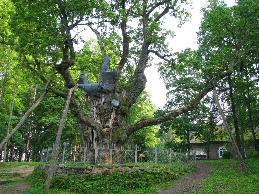 Stejarul din Stelmuze