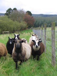250px-Flock_of_shetland_sheep